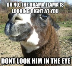 drama llama in the eye