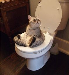 cat-on-a-loo